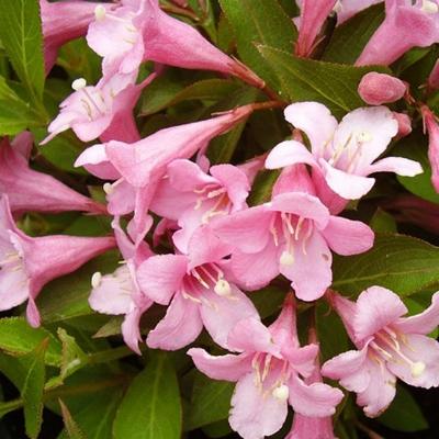 Вейгела цветущая Pink Poppet 40-60см, С10