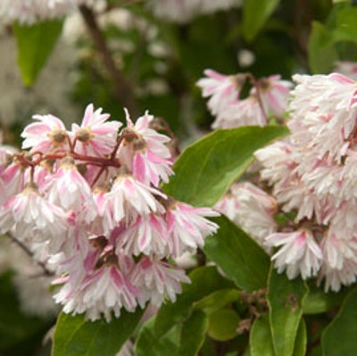 Дейция звездчатая Codsall Pink, 100-120см, С18