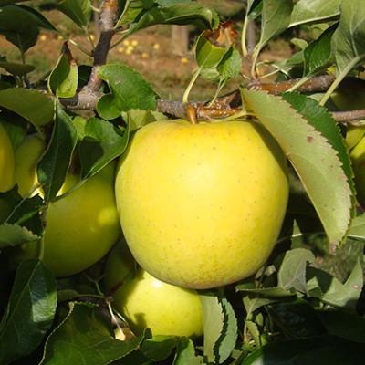 Саженцы Яблони (Malus) Golden Delicious/MM106VF