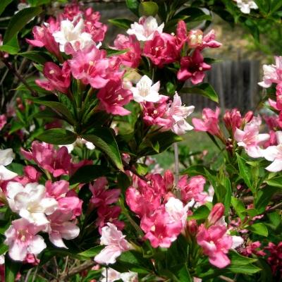 Вейгела цветущая Victoria, 30-50 см, С5