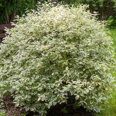 Дерен белый Elegantissima, 100-120см, С3