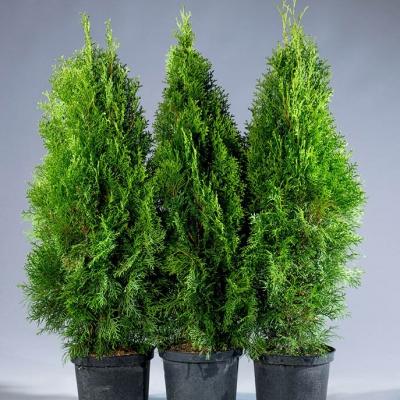 Туя западная Smaragd 80-100 см, (грунт)